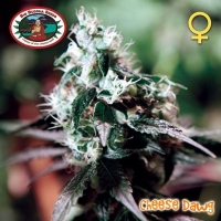 Big Buddha Cheese Dawg Feminised Cannabis Seeds For Sale
