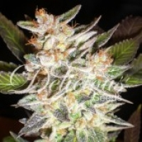Delicious Candy Auto (Formerly Cheese Candy Auto) Feminised Cannabis Seeds | Delicious Seeds