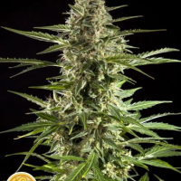 Auto Stilton CBD Feminised Cannabis Seeds | Philosopher Seeds