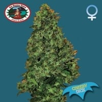 Big Buddha Seeds Cheesy Dick Feminised Cannabis Seeds For Sale