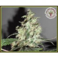 Dr Krippling Cheesy Mist Tree Kali's Fruitful Range Feminised Cannabis Seeds For Sale