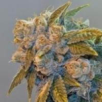 Chem Fire Regular Cannabis Seeds | BC Bud Depot
