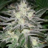 Buy Apothecary Genetics Seeds Chem Dawg (10 Reg) Regular Cannabis Seeds