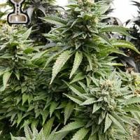 Chem 91 Regular Cannabis Seeds | Apothecary Genetics Seeds