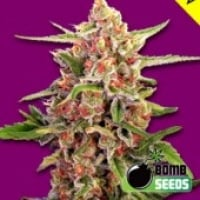 Cherry Bomb Feminised Cannabis Seeds | Bomb Seeds