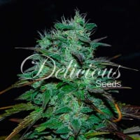 Chocobang Feminised Cannabis Seeds | Delicious Seeds