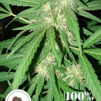 Coffee Gold Regular Cannabis Seeds | Seeds of Africa