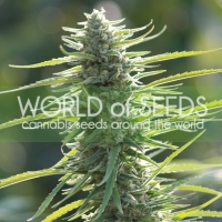Columbia Gold Feminised Cannabis Seeds | World of Seeds