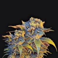 Colombian Sweet Feminised Cannabis Seeds