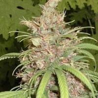 Congo x Nigerian Hash Plant Regular Cannabis Seeds | Apothecary Genetics Seeds