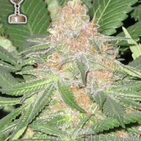 Buy Apothecary Genetics Cookies OG Regular Cannabis Seeds