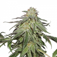 Cookies and Cream Auto Feminised Cannabis Seeds | Seed Stockers