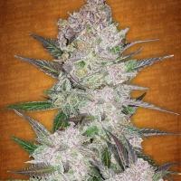 Cream Cookies Auto Feminised Cannabis Seeds   Fast Buds