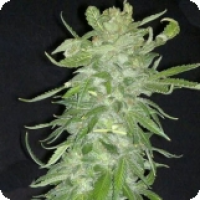 Cristal Paradise Feminised Cannabis Seeds | KC Brains Seeds