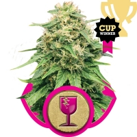 Critical Feminised Cannabis Seeds | Royal Queen Seeds