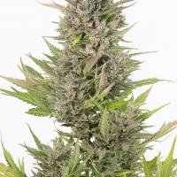 Critical + CBD Auto Feminised Cannabis Seeds | Dinafem Seeds