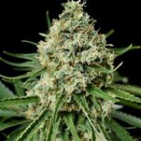 Critical + 2.0 Feminised Cannabis Seeds | Dinafem Seeds