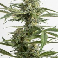 Critical Cheese Autoflowering Feminised Cannabis Seeds | Dinafem Seeds