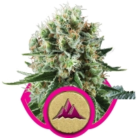 Critical Kush Feminised Cannabis Seeds   Royal Queen Seeds