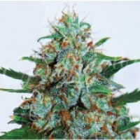 Critical Neville Haze Auto Feminised Cannabis Seeds | Delicious Seeds