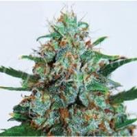 Critical Neville Haze Auto Feminised Cannabis Seeds | Delicious Seeds
