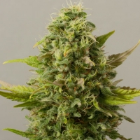 Critical Ryder Auto Feminised Cannabis Seeds | Black Skull Seeds