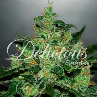 Critical x Jack Herer Auto Feminised Cannabis Seeds | Delicious Seeds