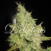 Critical Kali Mist Feminised Cannabis Seeds | Delicious Seeds