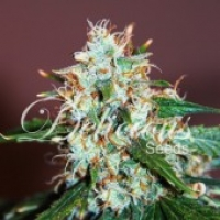 Critical Neville Haze Feminised Cannabis Seeds | Delicious Seeds