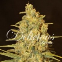 Critical Sensi Star Feminised Cannabis Seeds | Delicious Seeds