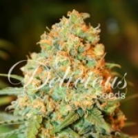 Critical Super Silver Haze Feminised Cannabis Seeds | Delicious Seeds