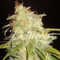 Critical Yumbolt Feminised Cannabis Seeds | Delicious Seeds