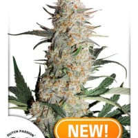 Critical Orange Punch Feminised Cannabis Seeds | Dutch Passion