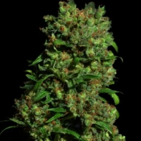 Critical VIP Feminised Cannabis Seeds