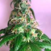 Crystal Feminised Cannabis Seeds | Nirvana