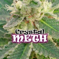 Crystal METH Feminised Cannabis Seeds | Dr Underground