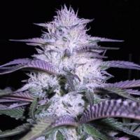Currant Kush Feminised Cannabis Seeds