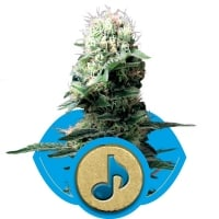 Dance World Feminised Cannabis Seeds | Royal Queen Seeds