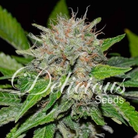 Deep Mandarine Feminised Cannabis Seeds | Delicious Seeds