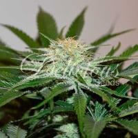 Descojack Feminised  Cannabis Seeds | Delicious Seeds