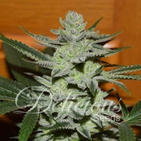Desconocida Kush Feminised Cannabis Seeds | Delicious Seeds