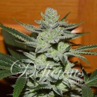 Desconocida Kush Regular Cannabis Seeds | Delicious Seeds