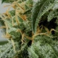 Dwarf Ryder Feminised Cannabis Seeds
