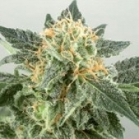 Widow Ryder  Feminised Cannabis Seeds