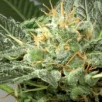 Fast Skunk Feminised Cannabis Seeds