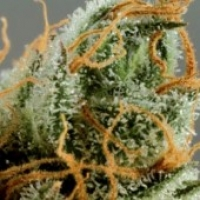Intense Skunk Feminised Cannabis Seeds
