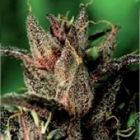 Lady Purple Feminised Cannabis Seeds