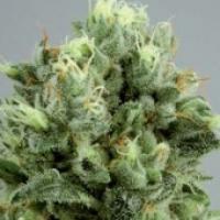 Lemon Bud Feminised Cannabis Seeds
