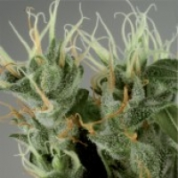 Shamanic Haze Feminised Cannabis Seeds