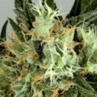 Shaman's High Regular Cannabis Seeds